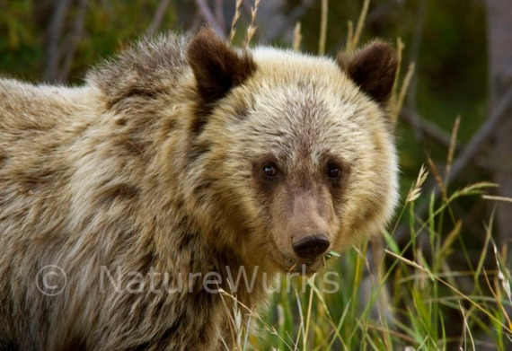 Grizzly Bear Cub Images / A Month Long Trip in Yellowstone NP