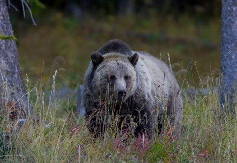 Grizzly Bear in an Alpine Meadow