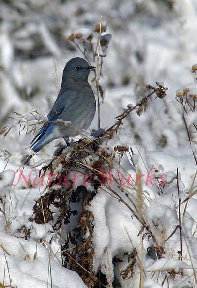 The Mountain Bluebird is a very common sight in ranchland and other open areas of the American We...