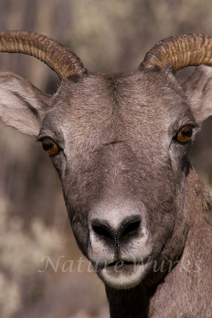 My Favorite Images / Bighorn Sheep Ewe