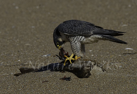 My Favorite Images / Peregrine Falcon