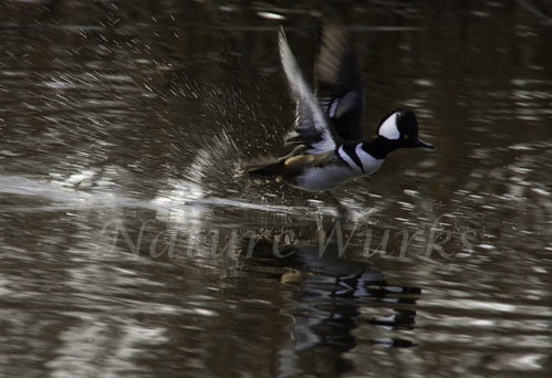 My Favorite Image / Hooded Merganser Running Across the Water