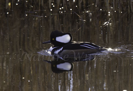 My Favorite Images / Hooded Merganser