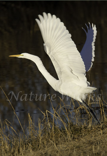 My Favorite Images / Great Egret Launching