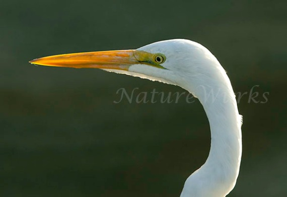 Great Egret Eye to Eye