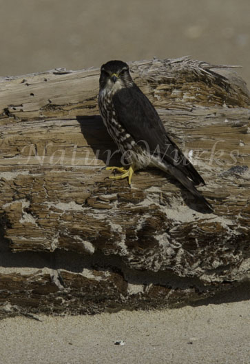 I photographed this Merlin Hawk on driftwood on the beaches of Cape Hatteras National Seashore on...
