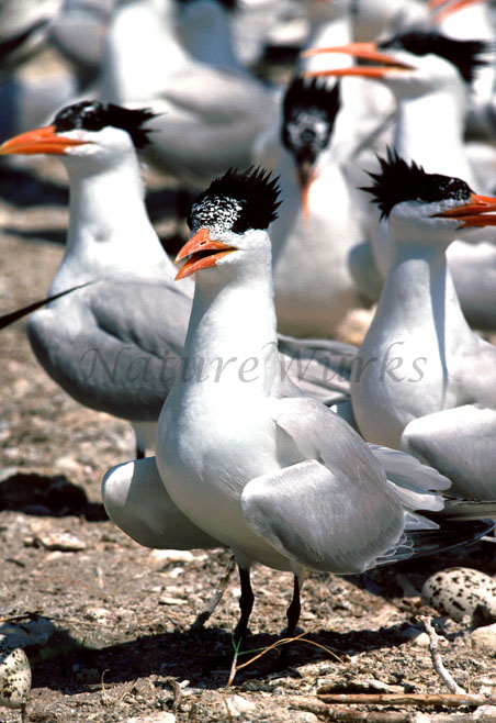 My Favorite Images / Royal Tern Rookery