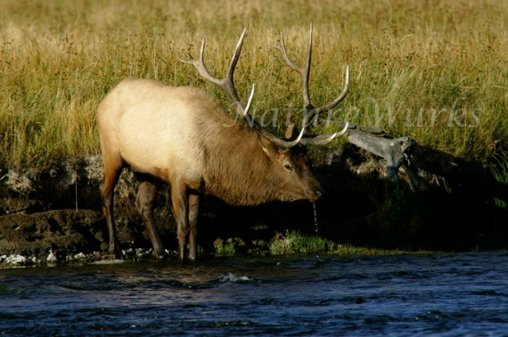 My Favorite Images / Elk on Madison River Yellowstone NP