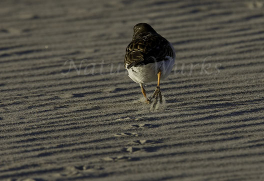 My Favorite Images / Sand Ridges with a Sanderling