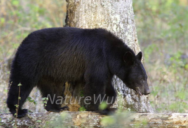 Black Bear in the Great Smoky Mountains National Park