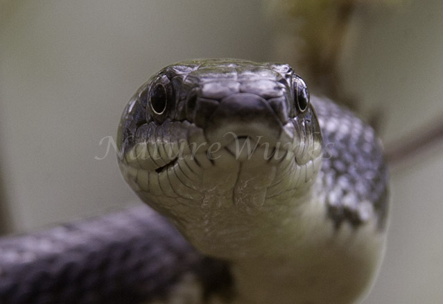 """EYE To EYE"" with a Black Snake"