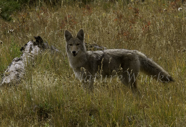 I photographed this Coyote hunting mice in the fields of the Lamar Valley in Yellowstone National...