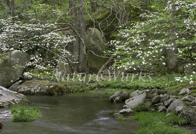 Flowering Dogwood Trees