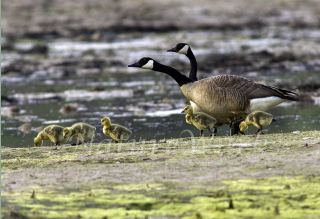 My Favorite Images /  Canada Geese & Goslings