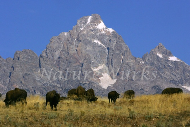 Grand Teton Mountains with Bison Herd