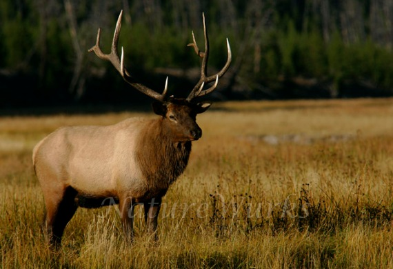 My Favorite Images / Bull Elk