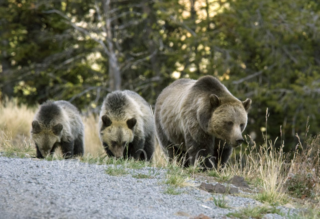 Sow Grizzly Bear with Cubs