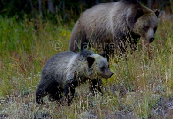 Sow Grizzly Bear with Cub