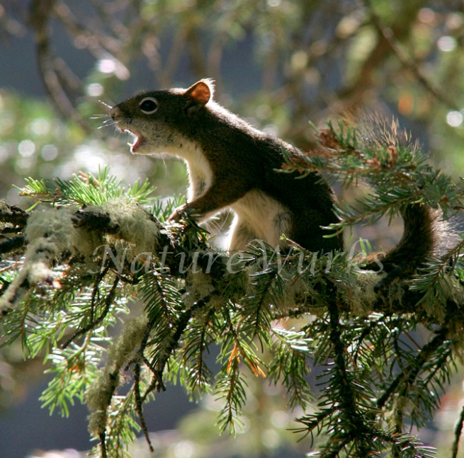Pine Squirrel by NatureWurks