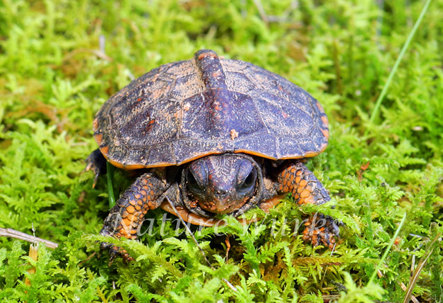 My Favorite Images / Eastern Box Turtle Yearling ...