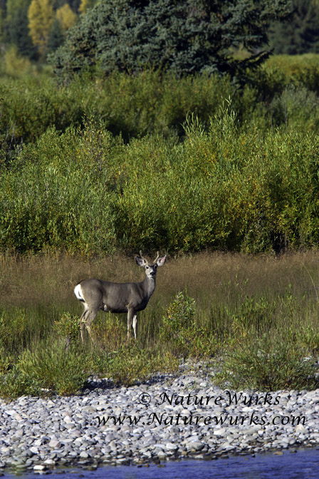 Buck Mule Deer