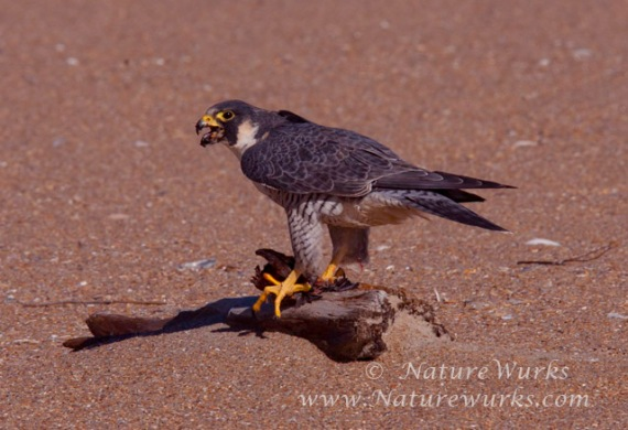 Peregrine Falcon / Cape Hatteras National Seashore – North Carolina
