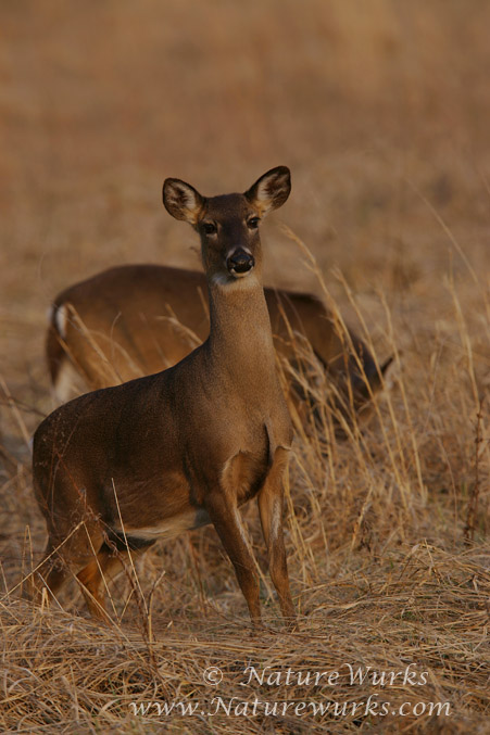White-tailed Deers in Cades Cove of the Great Smoky Mountains National Park Cades Cove is a broad...
