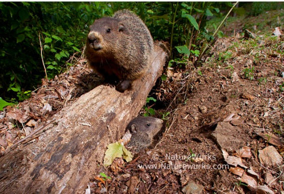 Groundhog Mother & Pup  |  Pisgah National Forest