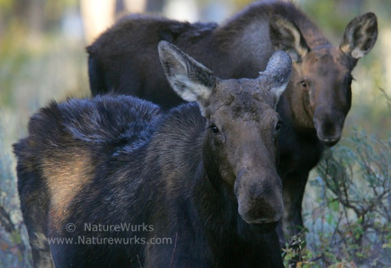 Moose Cow & Yearling