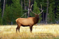 Click to View & Buy Now Image of Bull Elk at Madison River Valley