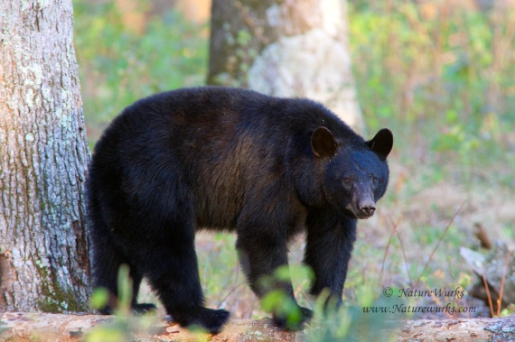 An adult Black Bear walking in the forest around the Cades Cove area of the Great Smoky Mountains...