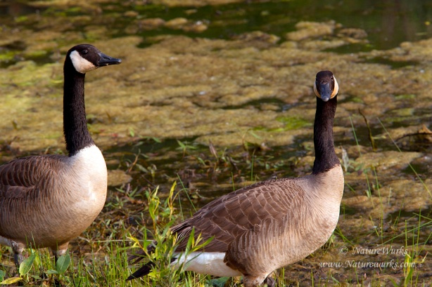 Canada Geese that I photographed in the wetlands of the Muscatatusk National Wildlife Refuge in I...