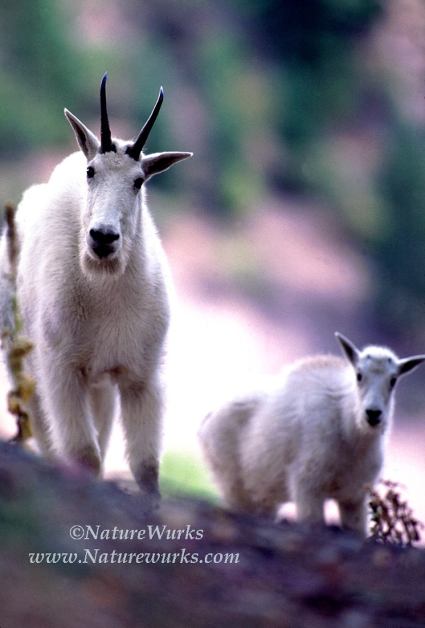 "I photographed this female or ""Nanny"" Mountain Goat with her offspring also called a ""Kid"", on th..."