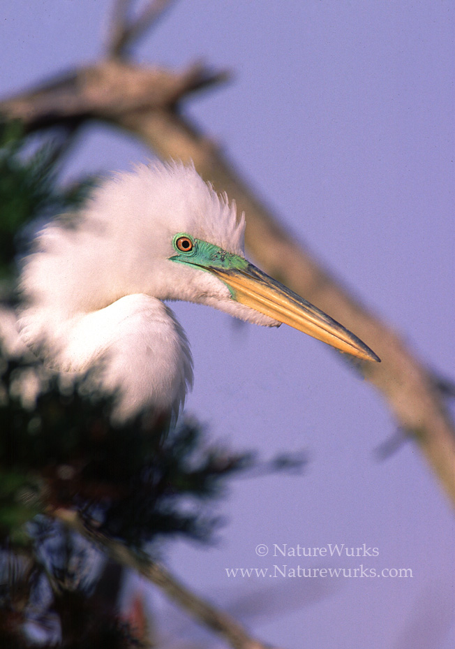 Egret_FaceCLSUP_OUT