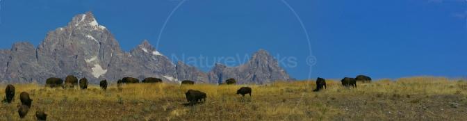 Grand Teton Mountain Range and Bison Herd