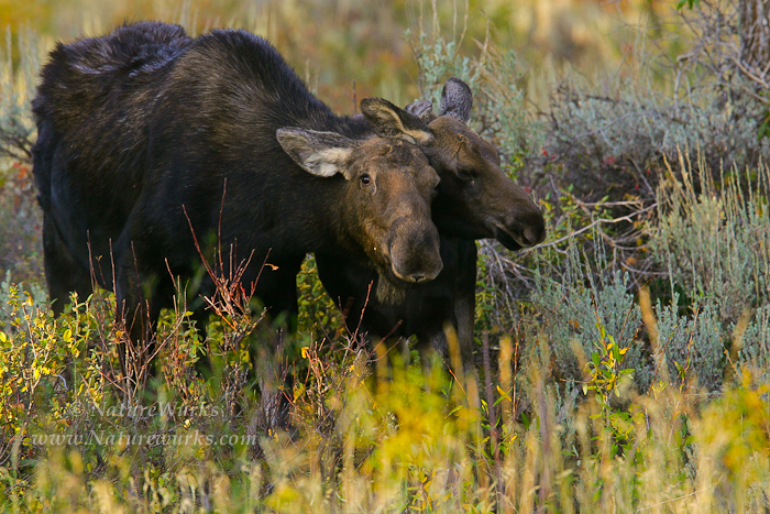 KU8S0826-Moose_MomCalf_OUT