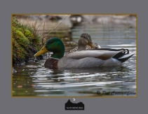 mallardduck_mf_12_out