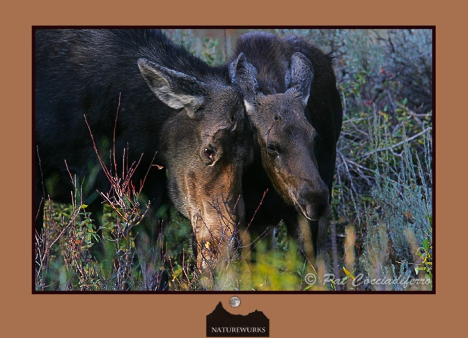 moose_calf_08_ku8s0814_out