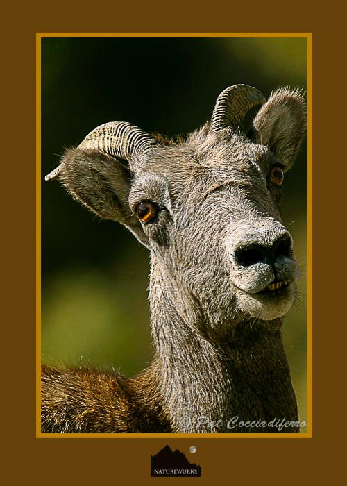 bighorn_ewes_09_c6b0775