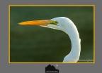 Snowy Egret – Mattamuskeet NWR