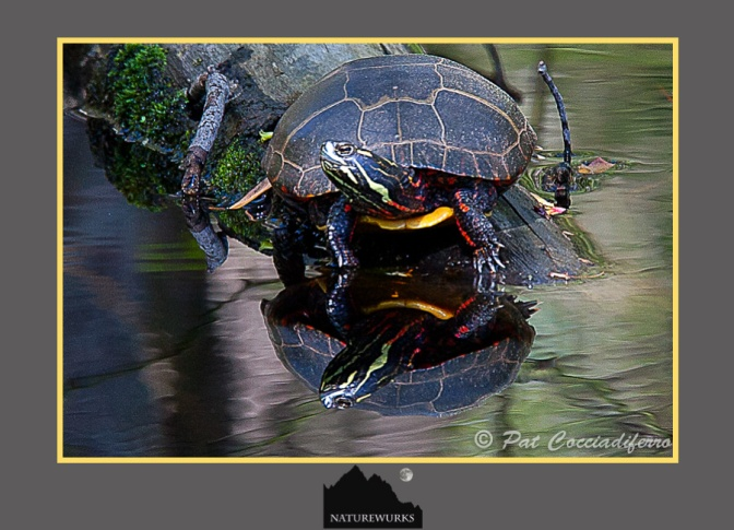 turtle_reflection_c6b0081