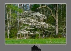 Dogwood Trees – Cades Cove -GSMNP