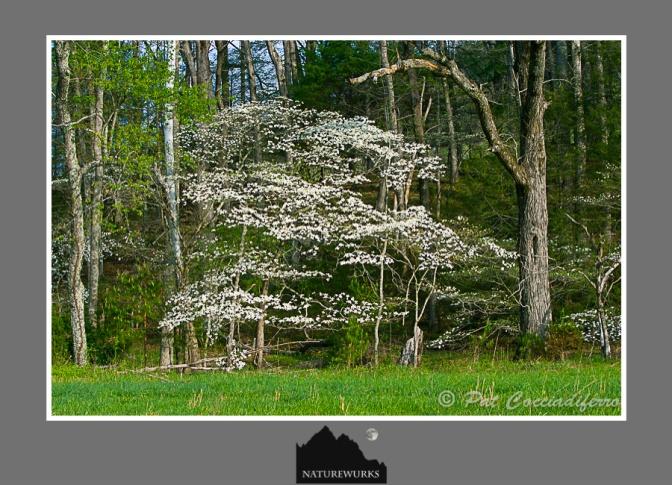 dogwoodtree_12_c6b6620