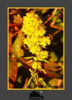 Tall Goldenrod – Wild Flowers
