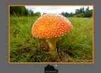 The Fly Agaric is a beautiful, vibrantly colorful  fungi.